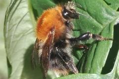 """Дива пчела - Авторска снимка на Сдружение """"Идея за развитие""""."""