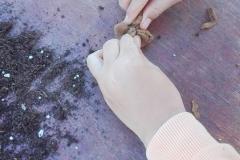 След поставяне на торфа и семенцата, краищата на глината се събират в топче